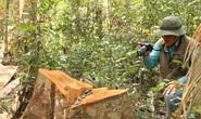 Clip: Kinh hoàng lâm tặc phá nát rừng bạch tùng hàng trăm năm tuổi ở Lâm Đồng