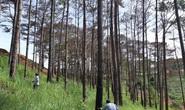 Cán bộ địa phương dung túng việc đầu độc rừng thông tuyệt đẹp ven đường Hồ Chí Minh