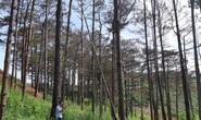 Dung túng việc đầu độc rừng thông