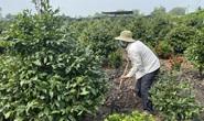 Nhà vườn TP HCM đua nhau trồng mai Tết