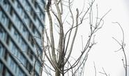 """CLIP: Cận cảnh hàng cây phong lá đỏ chết khô trên con đường """"đẹp nhất Việt Nam"""""""