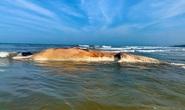 Phát hiện cá voi nặng hàng chục tấn chết trôi dạt vào bờ biển
