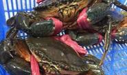 Cua biển ngon nhất Cà Mau rớt một nửa giá vì dịch corona