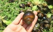 Lão nông 71 tuổi thu nhập 24 triệu đồng/tháng nhờ nuôi ốc bươu đen