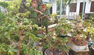 Trộm nhiều cây mai cảnh trị giá hơn nửa tỉ đồng rồi cắt phá thế để tránh bại lộ