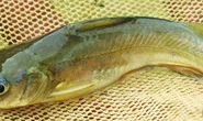 Hàng tấn cá chốt bị nhốt trong ao ở Sóc Trăng