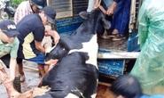 Lâm Đồng: Sét đánh chết gục 10 con bò sữa ngay tại máng ăn