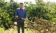 Hàng trăm cây sầu riêng bị kẻ xấu chặt hạ không thương tiếc