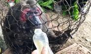 Khỉ mặt đỏ chết sau khi bàn giao công viên động vật hoang dã của FLC