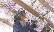Nhật Bản đành bức tử thiên đường hoa tử đằng vì Covid-19