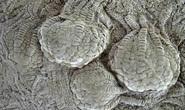 Sinh vật 80 triệu tuổi như ngoài hành tinh hiện diện khắp trái đất