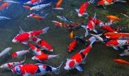 Ao cá Koi nửa tỉ đồng chết sạch nghi bị đầu độc