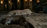 Mỹ: CDC cảnh báo chuột bất thường, hung dữ do thiếu ăn trong dịch Covid-19