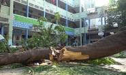 Nghiên cứu kỹ cây xanh thay thế cây bị đốn hạ trong trường học tại TP HCM