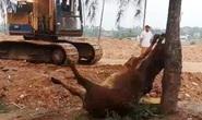 Hai người lạ xuất hiện, 4 con bò bỗng lăn ra chết bất thường