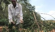 Gia Lai: Hàng ngàn cây cà phê sắp thu hoạch của làng nghèo bị chặt hạ trong đêm