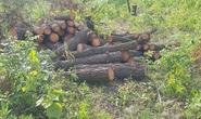 Cận cảnh hơn 4 ha rừng phòng hộ bị chặt phá tan hoang cách UBND xã 1 km