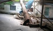TP HCM: Cây xanh ngã đổ trong đêm