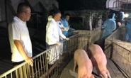 Heo Thái Lan vừa tới cửa khẩu đã gặp sự cố