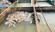 Cá bè lại chết hàng loạt trên sông Đồng Nai