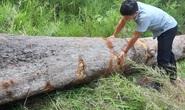 Chở gỗ lậu, người đàn ông bị gỗ đè chết