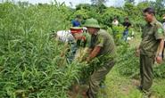 Phát hiện người phụ nữ trồng vườn cần sa cây cao 1,3-1,9 m, sắp đến ngày thu hoạch