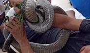 Nọc độc rắn hổ mang chúa 4,6kg ở núi Bà Đen đã dần thua sức chiến đấu của nạn nhân