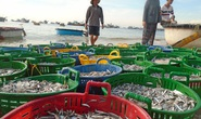 Mùa cá cơm kém vui của ngư dân