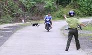 Voọc gáy trắng tấn công hàng loạt người: Bác phương án dùng chó nghiệp vụ xua đuổi