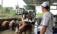 Hụt nguồn heo Thái Lan, heo hơi trong nước tăng giá