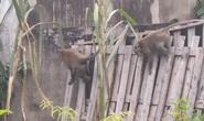 Đàn khỉ quậy tưng bừng ở quận 12, TP HCM