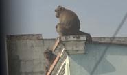 Lên phương án đưa đàn khỉ đại náo ở quận 12 ra khỏi khu dân cư