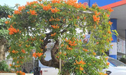 Cây hoa độc, lạ Rạng Đông thân leo bán với giá 50 triệu đồng