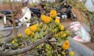 CLIP: Hoa mai thế Bình Định đẹp lung linh, người mua vẫn thờ ơ