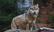 Phát hiện hài cốt sói biến hình 16.000 năm trong hang động ở Đức