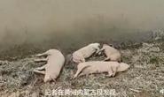 Trung Quốc: Xác heo dạt hàng loạt vào bờ sông Hoàng Hà