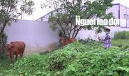CLIP: Tóm được đối tượng trộm bò chuyên nghiệp ở Cà Mau