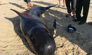 Cá heo nặng khoảng 2 tạ dạt vào biển Quảng Nam