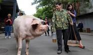 Trư Kiên Cường - con heo nổi tiếng nhất Trung Quốc qua đời
