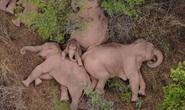 Trung Quốc: Đàn voi bất trị gây sốt vì ngủ trưa quá đáng yêu