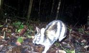 Thỏ vằn bất ngờ xuất hiện ở Lâm Đồng