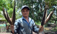 Chùm ảnh: Hấp dẫn tát đìa bắt cá đồng nướng rơm ở miền Tây