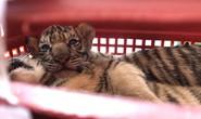 Bị phát hiện đang chở 7 con hổ sống, tông xe cảnh sát để bỏ chạy