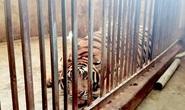 Vụ nuôi 17 con hổ trong nhà: Kiểm lâm đã nhiều lần đi kiểm tra nhưng không phát hiện
