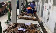 17 con hổ trong khu dân cư: Sẽ xem xét trách nhiệm khi có kết luận điều tra