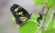 Phát hiện hành vi ghê rợn của loài bướm