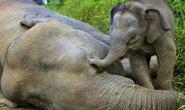 Voi lùn có nguy cơ tuyệt chủng ở Malaysia chết hàng loạt