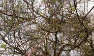 Thanh Hóa: Đào rừng khổng lồ giá 60 triệu đồng