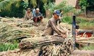 Cần Thơ: Nông dân bán mía chạy lũ