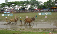 Về Tịnh Biên xem lễ hội đua bò Bảy Núi